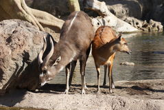Sitatunga - Tragelaphus spekeii Royalty Free Stock Photos