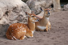 Sitatunga - Tragelaphus spekeii Royalty Free Stock Photography