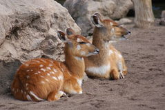 Sitatunga - Tragelaphus spekeii Royalty Free Stock Photo