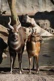 Sitatunga - Tragelaphus spekeii Royalty Free Stock Images