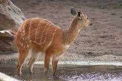 Sitatunga - Tragelaphus spekeii Royalty Free Stock Image