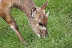 Sitatunga - Tragelaphus spekeii Stock Photos