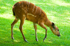 Sitatunga - (Tragelaphus spekii) Royalty Free Stock Photos
