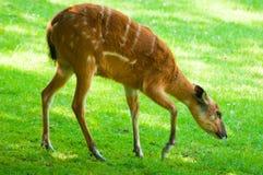 Sitatunga - (Tragelaphus spekii) Lizenzfreie Stockfotos