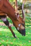 Sitatunga (Tragelaphus spekii) portrait Royalty Free Stock Images
