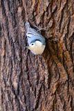 Sitelle Blanche-Breasted Photo libre de droits