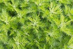 Sitherwood (Artemisiaabrotanum) arkivbild