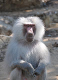 Siting baboon Royalty Free Stock Images