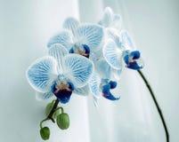 Sitio de la flor de la orquídea, Phalaenopsis Foto de archivo libre de regalías