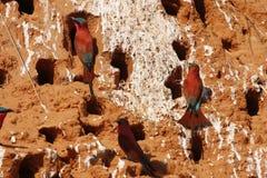 Sitio meridional del comedor de abeja del carmín Foto de archivo libre de regalías