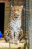 Sititng femenino del leopardo en la jaula Imagen de archivo libre de regalías