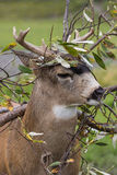Sitka Blacktail Deer Buck Stock Photos