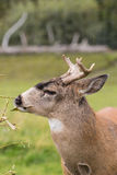 Sitka Blacktail Deer Buck Browsing Royalty Free Stock Photography