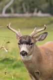 Sitka Blacktail Deer Buck Portrait Stock Images