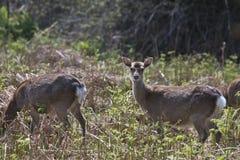 Sitka Deer grazing on Innisfallen Island, Lough Leane Royalty Free Stock Image