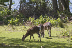 Sitka Deer on Innisfallen Island, Lough Leane, Killarney Stock Photography
