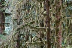 Sitka gezierter Wald stockfotografie
