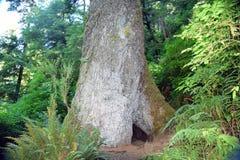 Sitka granträd Arkivbilder