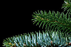 Sitka spruce branch on black Royalty Free Stock Photos