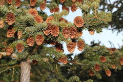Sitka spruce cones Royalty Free Stock Photos