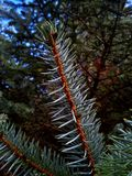 Sitka Spruce. In the forest Royalty Free Stock Photography