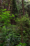 Sitka spruce forest. Vegetation of a sitka spruce forest Royalty Free Stock Image