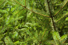 Sitka spruce needles Royalty Free Stock Photography