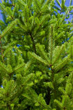 Sitka spruce needles Royalty Free Stock Photo