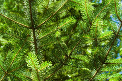 Sitka spruce needles. Sitka spruce (Picea sitchensis) needles lit by the sun Stock Photos