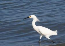 Sito che pesca egretta bianca Fotografie Stock