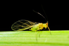 Sitobion avenae (English Grain Aphid) adult alate on barley Stock Photo
