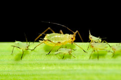 Sitobion avenae (English Grain Aphid) adult and nymphs on barley Stock Image