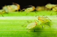 Sitobion avenae (English Grain Aphid) nymphs on barley Stock Photo