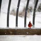 Sits cardinal en el balcón Nevado imágenes de archivo libres de regalías