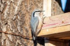 Sitta all'alimentatore degli uccelli fotografia stock libera da diritti