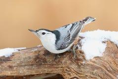Sitta dal petto bianco (carolinensis del sitta) in neve Fotografia Stock Libera da Diritti