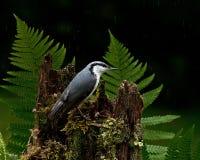 Sitta euroasiatica, europaeaon del Sitta che si siede nella pioggia su un vecchio ceppo Fotografia Stock