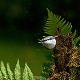 Sitta euroasiatica, europaeaon del Sitta che si siede nella pioggia su un vecchio ceppo Immagine Stock