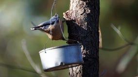 Sitta - europaea- del Sitta che afferra tre semi di girasole immagini stock