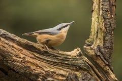 Sitta, europaea del Sitta, uccello canoro immagine stock libera da diritti