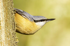 Sitta europaea / Eurasian Nuthatch - closeup Stock Photos