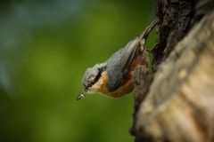 Sitta europaea. He lives throughout Europe. Wild nature. Spring. Photographed in the wild royalty free stock photography