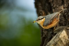 Sitta europaea. He lives throughout Europe. Wild nature. Spring. Photographed in the wild royalty free stock image