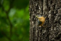 Sitta europaea. He lives throughout Europe. Wild nature. Spring. Photographed in the wild stock photography