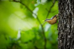 Sitta europaea. He lives throughout Europe. Wild nature. Spring. Photographed in the wild royalty free stock photos