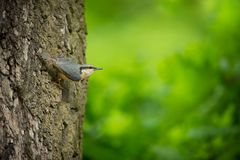 Sitta europaea. He lives throughout Europe. Wild nature. Spring. Photographed in the wild stock image
