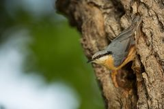 Sitta europaea. He lives throughout Europe. Wild nature. Spring. Photographed in the wild stock photo