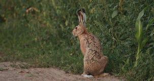 Sitta för europeisk hare som är utomhus- i väg för sommarbygdfält i Vitryssland Den europeiska haren - Lepus Europaeus eller brun stock video