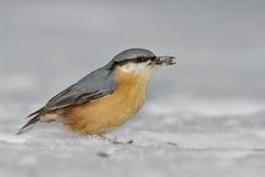 sitta för fågeleuropaeanuthatch Fotografering för Bildbyråer
