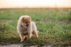 Sitta för hund för valp för valpPomeranian Spitz som är utomhus- i gräs och Wi arkivfoton